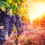 Mi smo vinograd Božji
