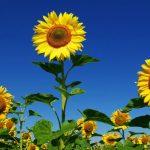 Priča o suncokretu